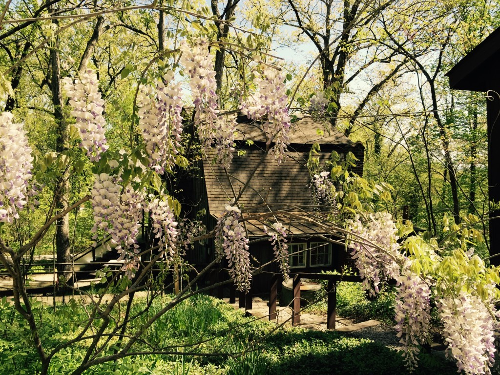 Esta Cabin peeking through the wisteria blooms